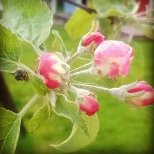 omenapuun_kukka