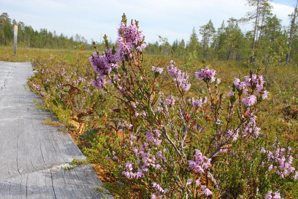 Kuva 1. Kanervan kukkia saa Suomessa käyttää kaupallisesti yrttiteenä, annoskoristeena sekä ravintolisänä (Kuva: Johanna Kinnunen)