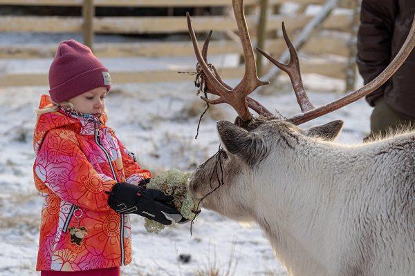 Pieni tyttö antaa heinää porolle.